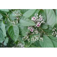 Chinese Fevervine Herb
